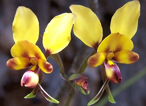types-of-orchids-donkey