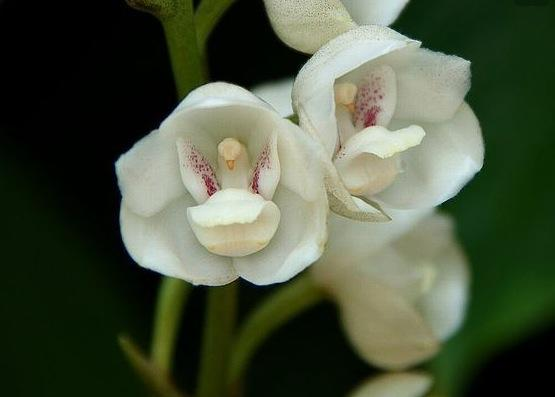 types-of-orchids-dove