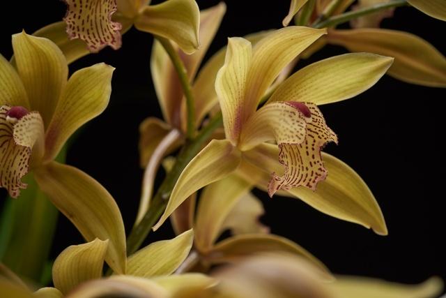 types-of-orchids-Cymbidium