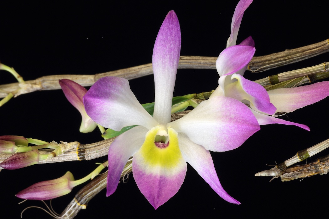 types-of-orchids-Dendrobium