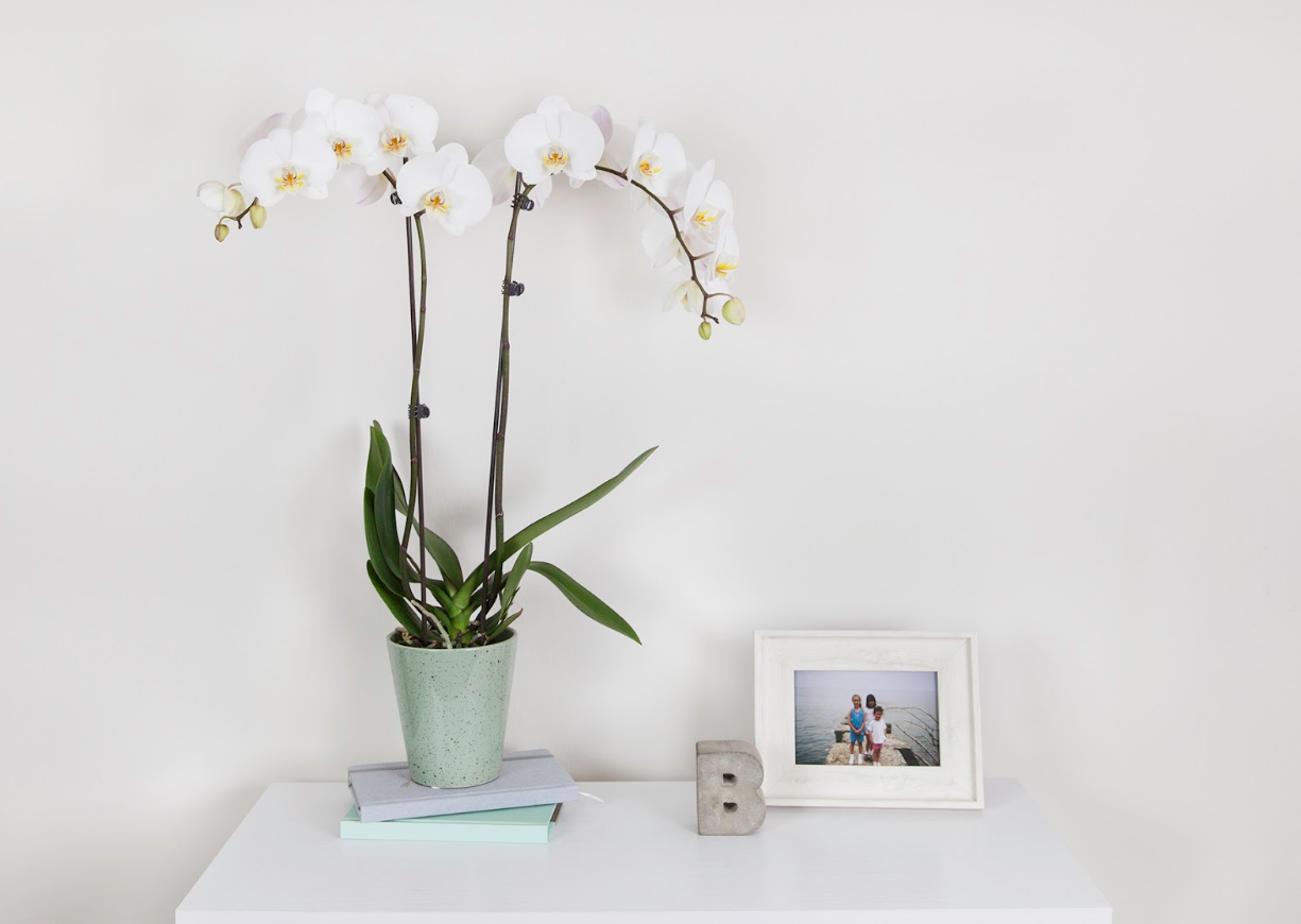 white-orchid-in-pot