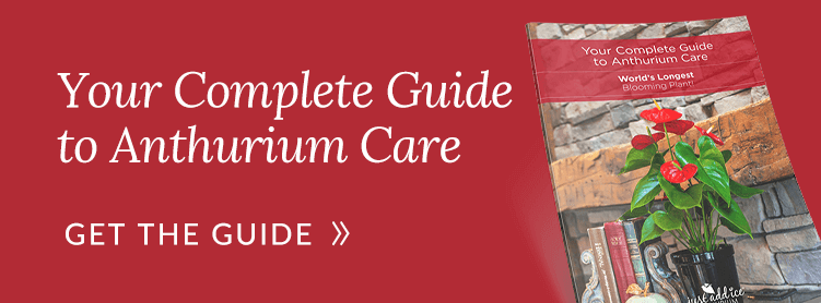 Your Complete Guide to Anthurium Care Guide