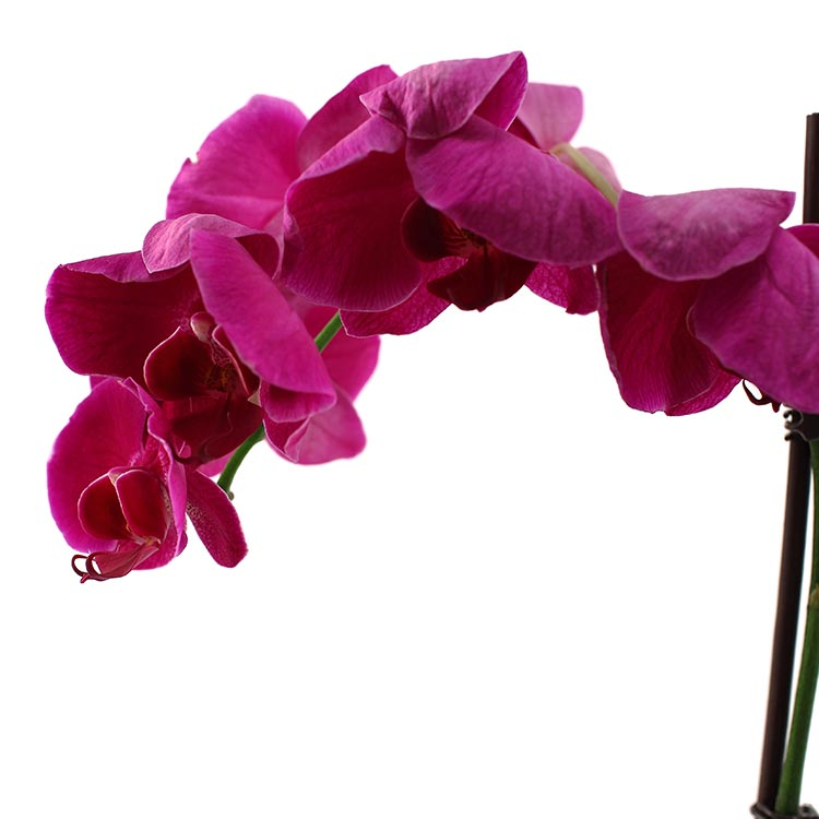 How Do You Know if Your Orchid is Dead?