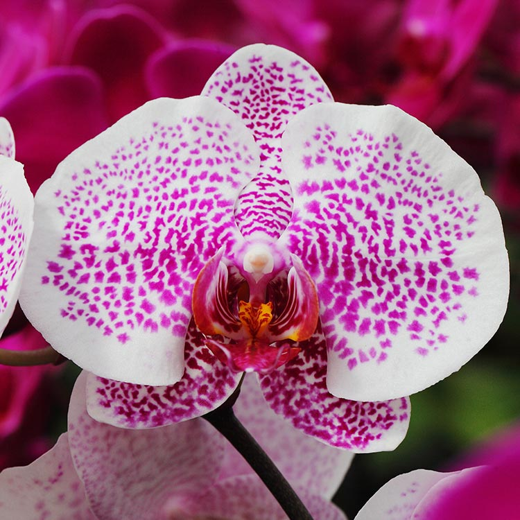 The Life Cycle Of A Phalaenopsis Orchid
