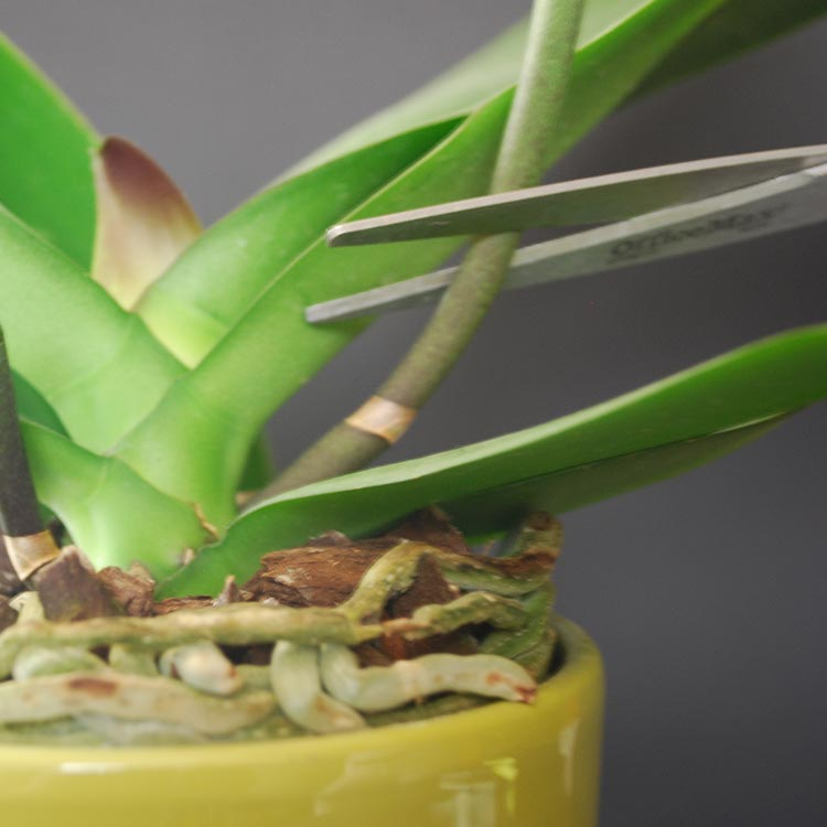 To Rescue Or Cut Broken Orchid Leaves And Stems