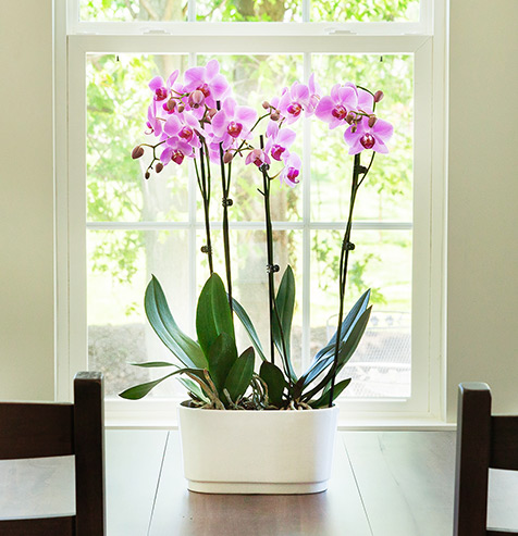 Giving Phalaenopsis Orchid Plants as Sympathy Gifts