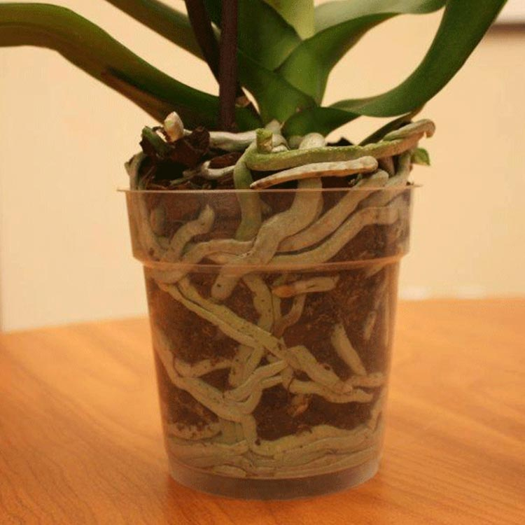 How to Tell When It's Time to Repot Your Orchid