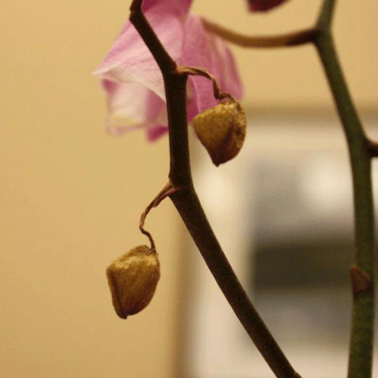 How To Remove Dead Flowers From Your Phalaenopsis Orchid