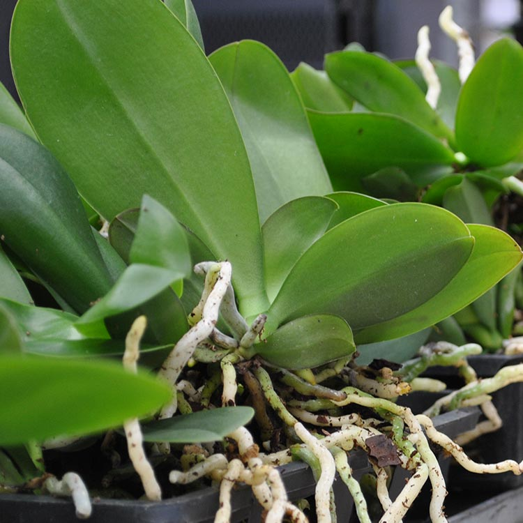 Changing Leaf Color Can Alert Owners to Orchid Problems