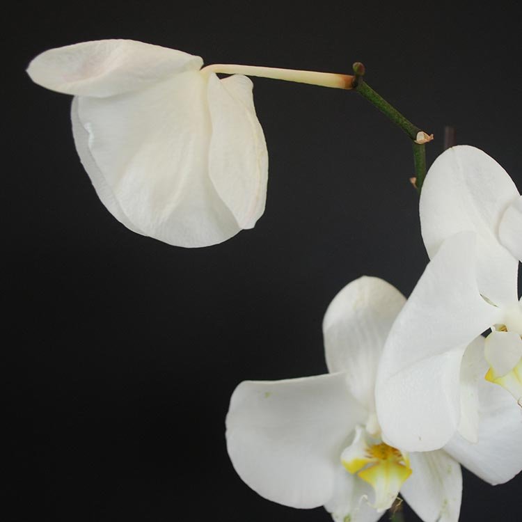 Orchid Care 101: How Do I Care for a Resting Orchid?