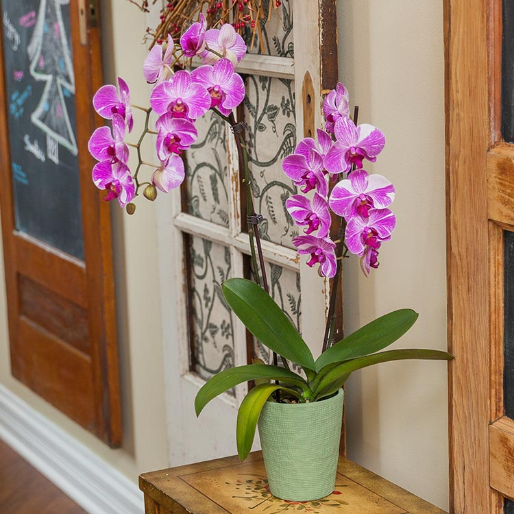 Using Orchid Colors to Convey Your Feelings