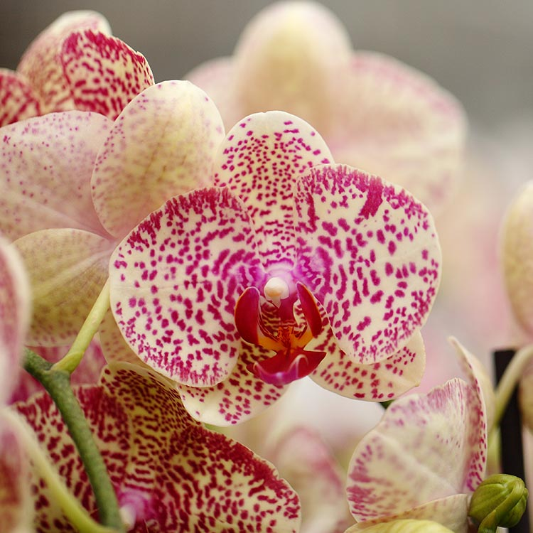 Watering Orchids With Ice Cubes: 3 Big Myths Busted By Research