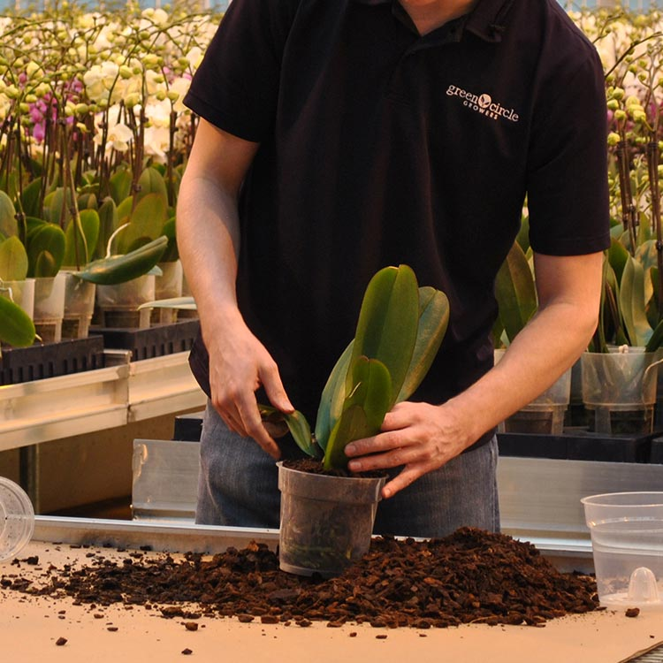 4 Signs It S Time To Repot Your Orchid