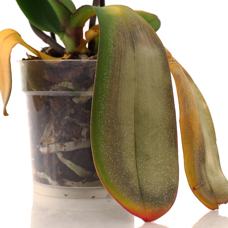 why are my orchid leaves turning yellow. Black Bedroom Furniture Sets. Home Design Ideas