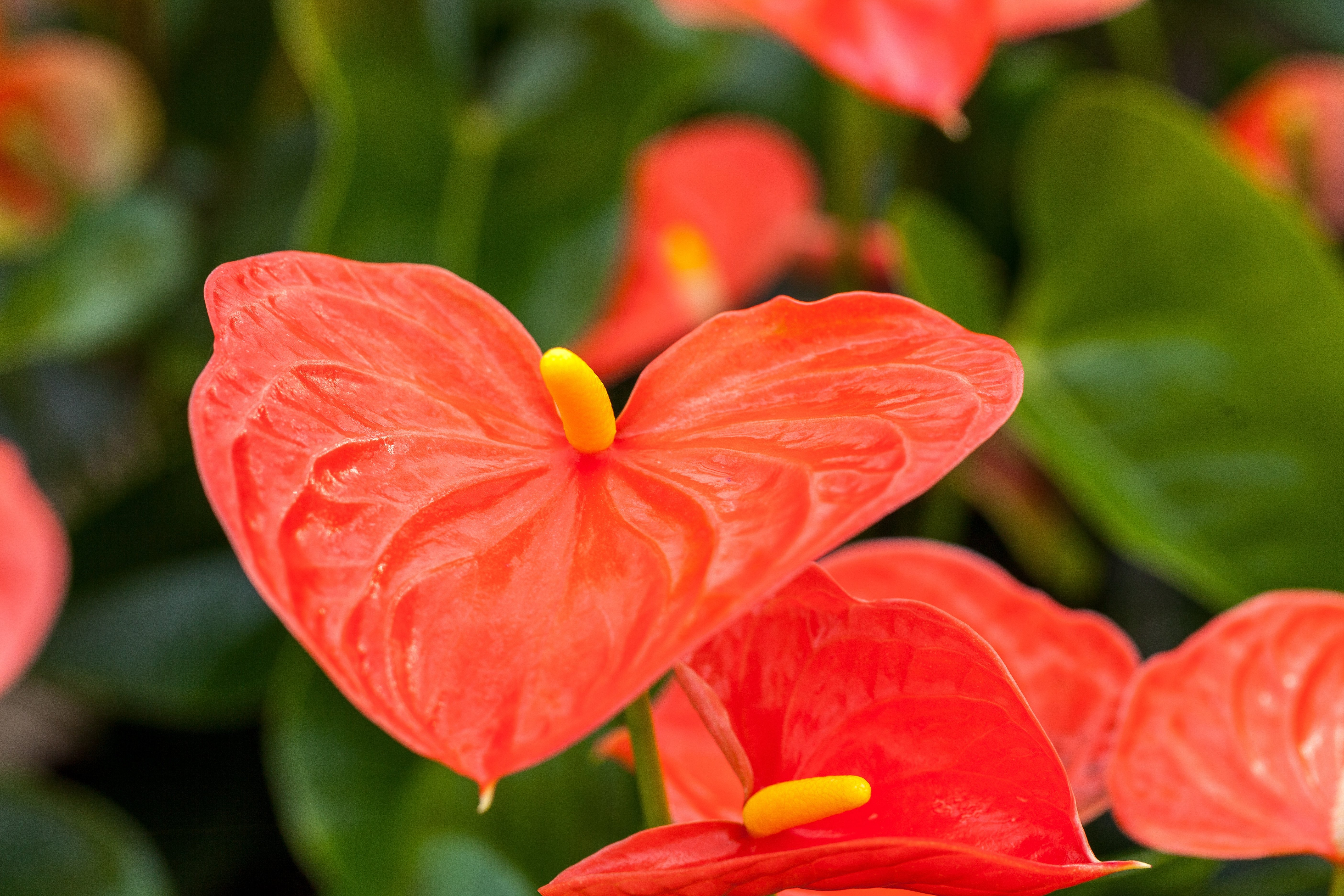 6 Fascinating Facts About the Anthurium Plant