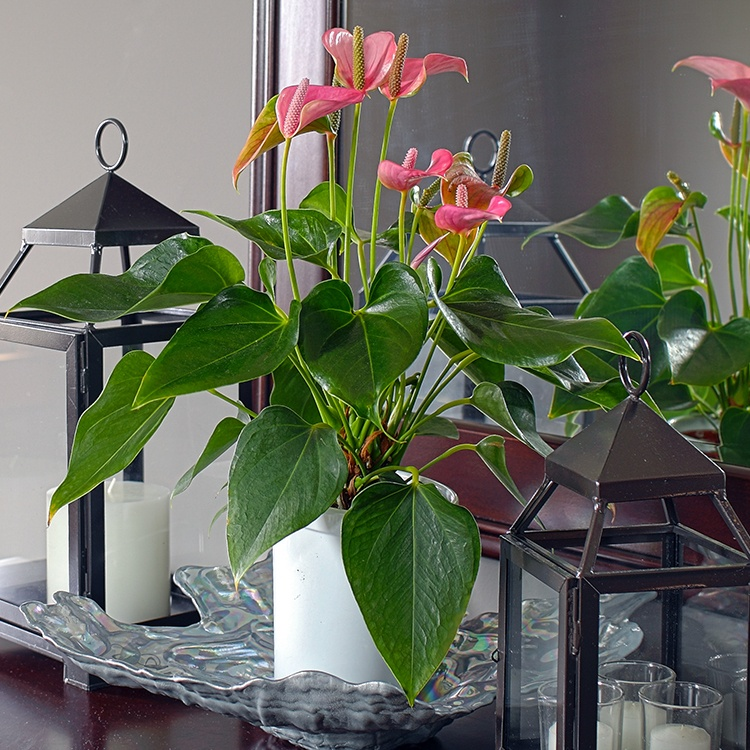 6 Ways to Decorate With Anthuriums
