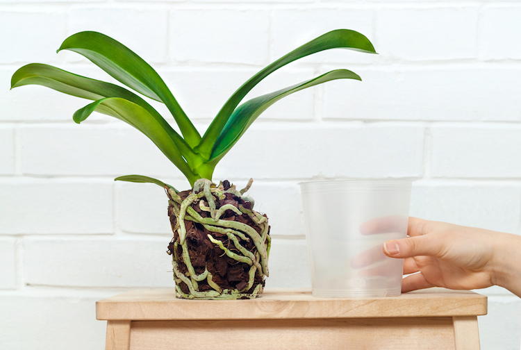 The Top 3 Benefits of Repotting Your Orchids