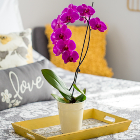 Sign Up Your Valentine for Free Orchid Watering Reminders