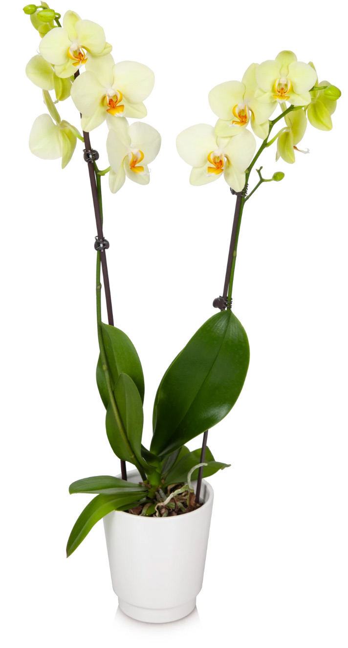 Yellow-Premium-Orchid