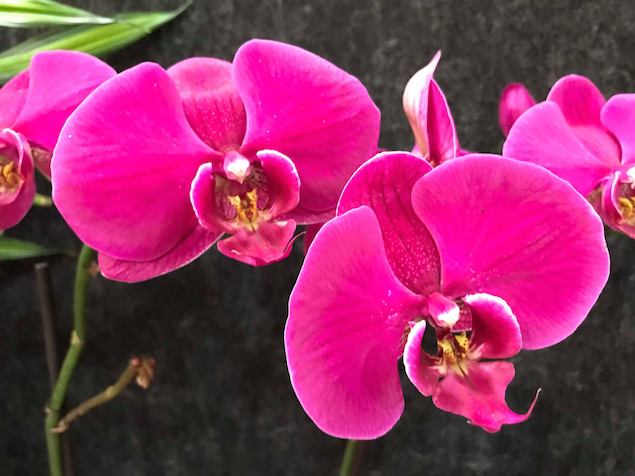 Insects Can Interfere with Orchid Reblooming