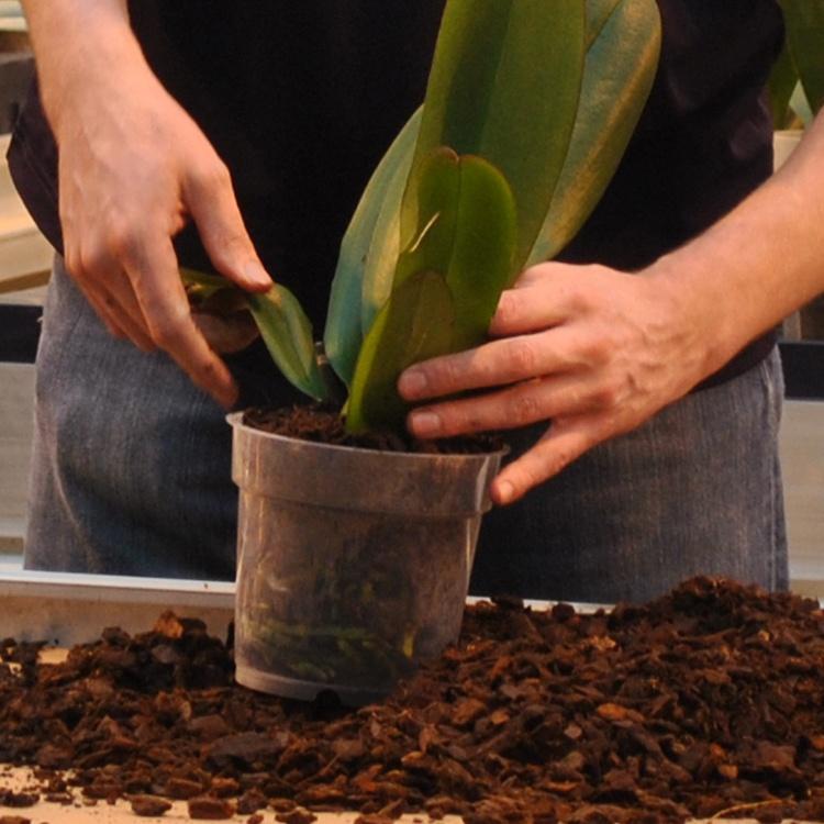 Slideshare: 7 Simple Steps to Orchid Fertilization