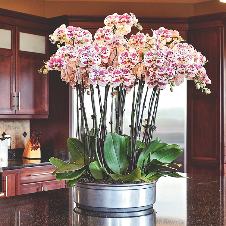 Phalaenopsis moreover Can My Phalaenopsis Orchid Rebloom besides How To Grow Love Fern Orchid together with 21716 in addition Watch. on reblooming orchids