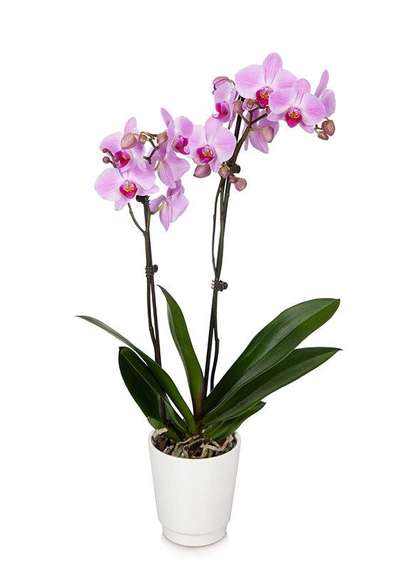 Pink Premium Orchid