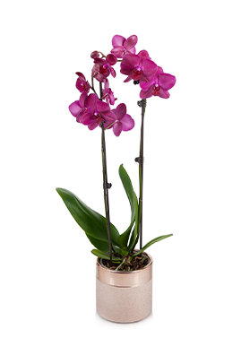 Purple Premium Orchid