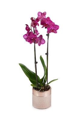 Purple Premium Orchid