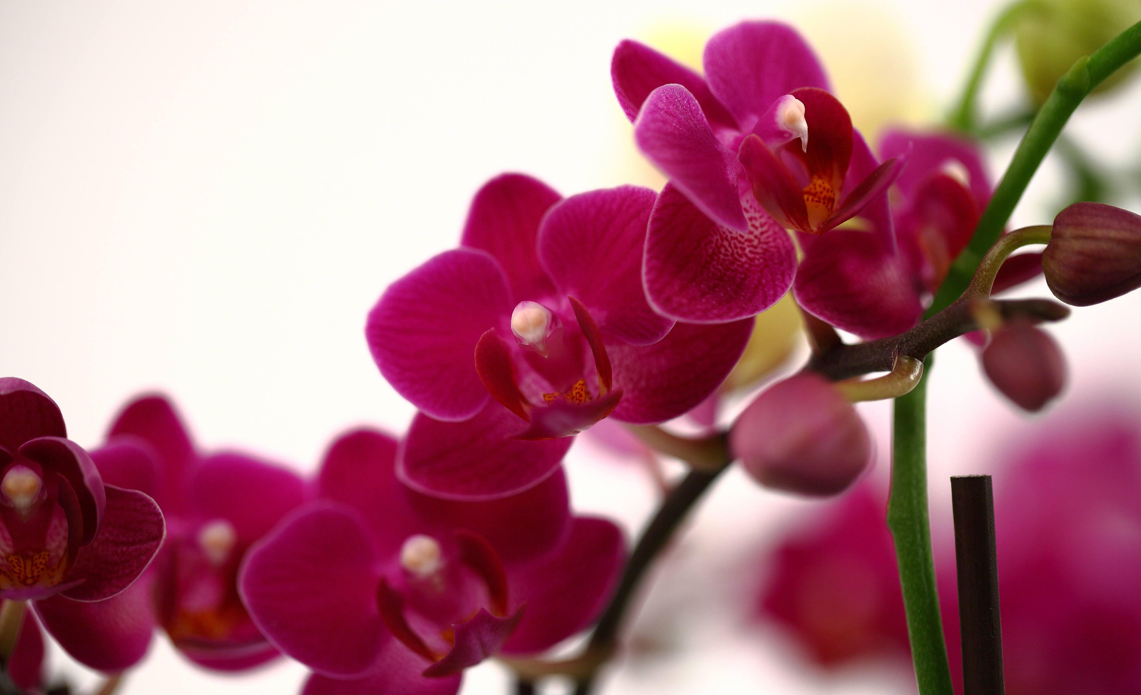 5 Uncommon Phalaenopsis Orchid Care Tips