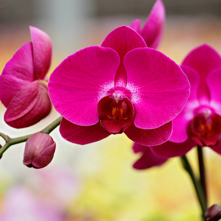 Phalaenopsis Orchid Buying Trends