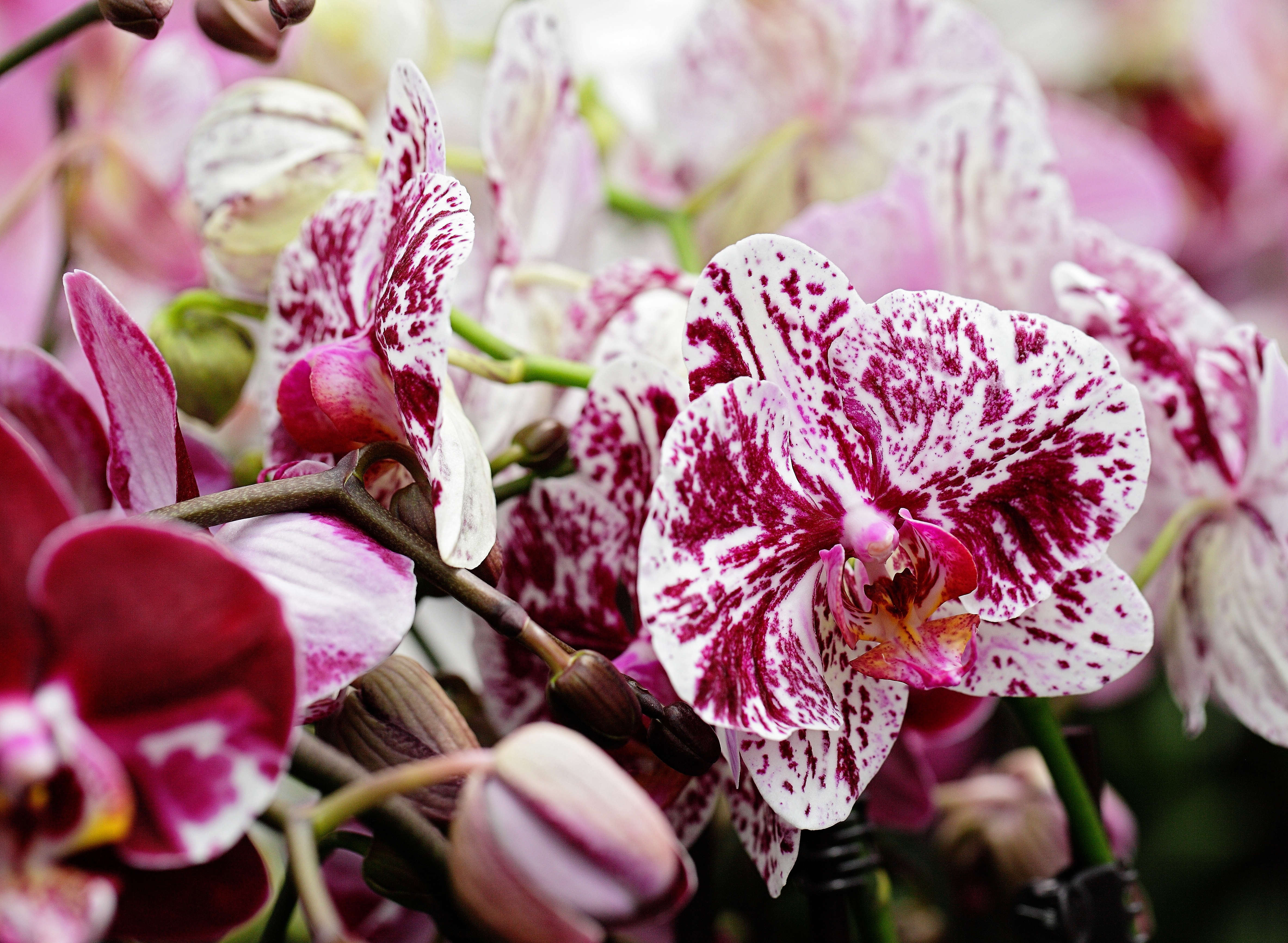 Not Great With Houseplants? 5 Reasons to Buy Phalaenopsis Orchids