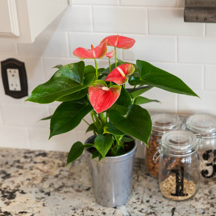 What to Do When Your Anthuriums Lose Their Flowers
