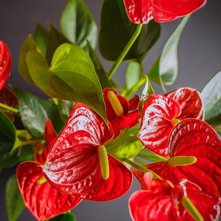 Anthurium Repotting 101
