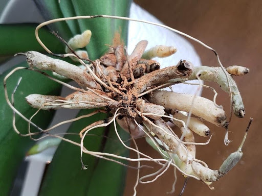 3 Home Remedies That Harm Orchid Roots