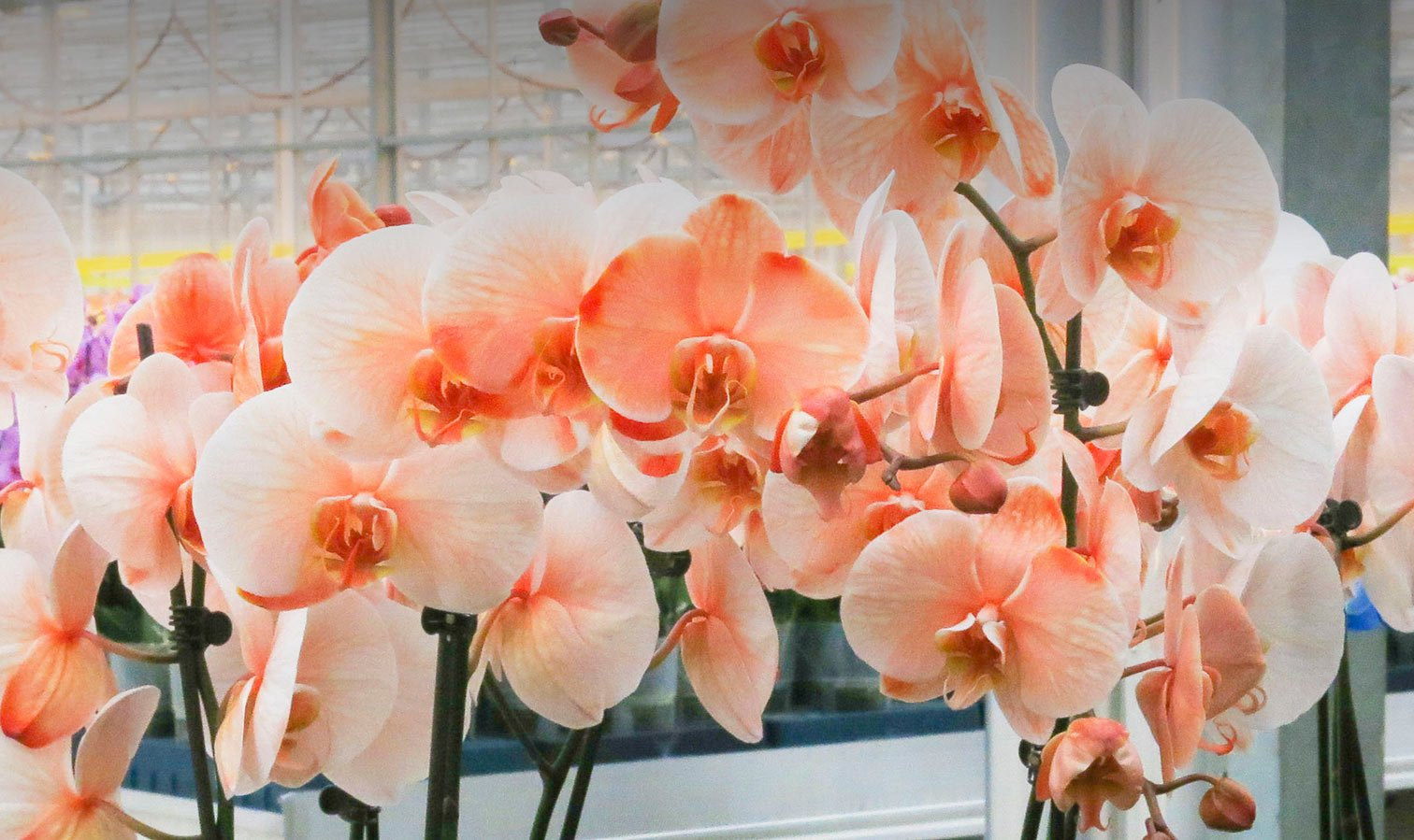 Celebrate Mardi Gras with Watercolor Orchids