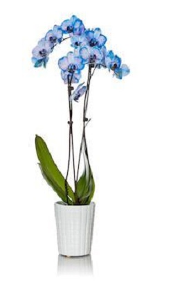 3 Frequently Asked Questions About Dyed Phalaenopsis Orchids