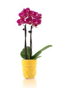 How to Incorporate Mini Orchids into Birthday Parties