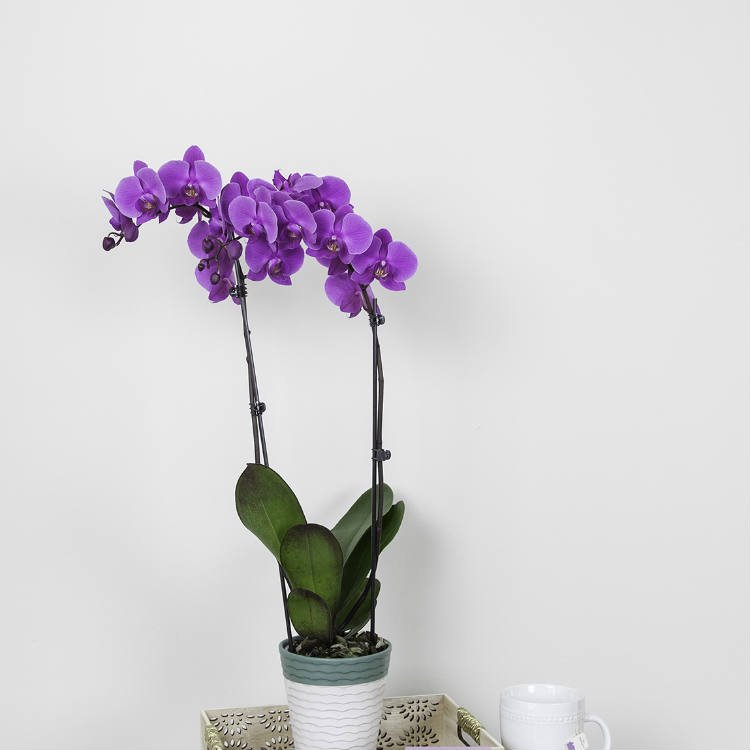 What Causes Orchid Bloom Loss?