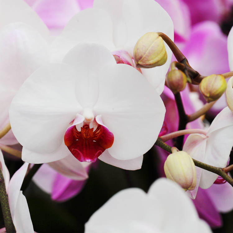 Spruce Up Your Spring Décor With Phalaenopsis Orchids