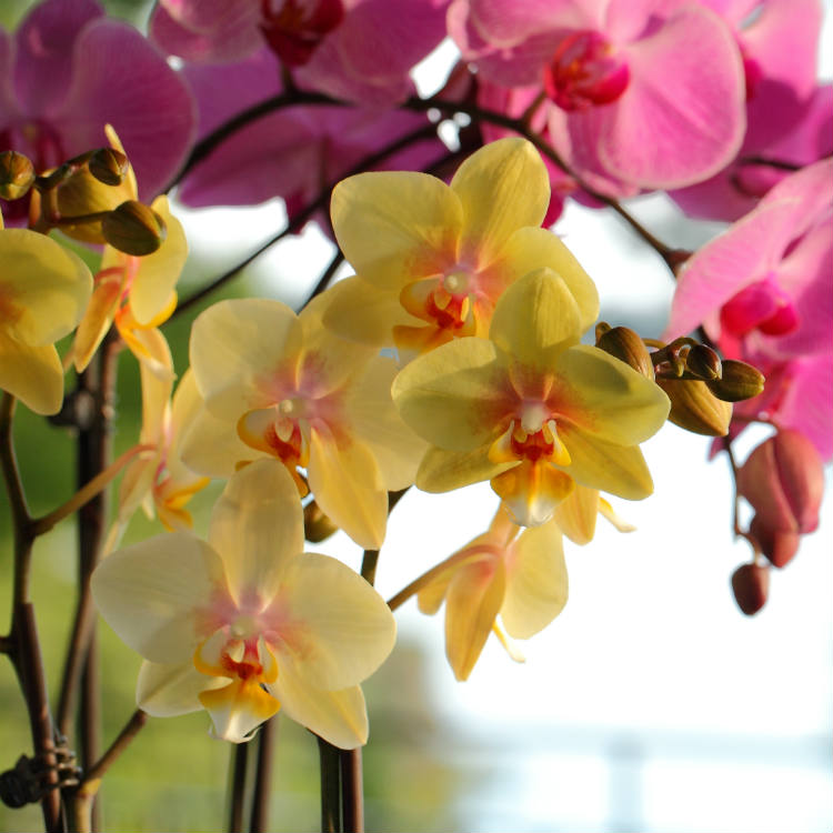Phalaenopsis Orchid Fast Facts