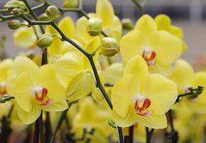 Everything You Need to Know About Phalaenopsis Orchid Fertilization