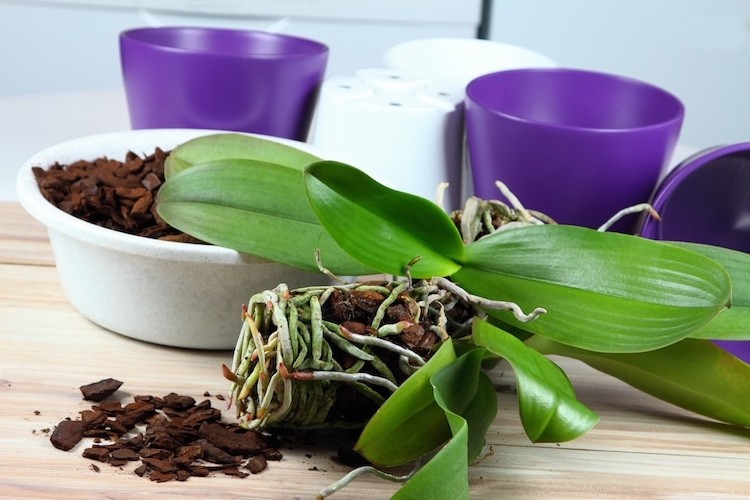 The Importance of Repotting for Orchid Health