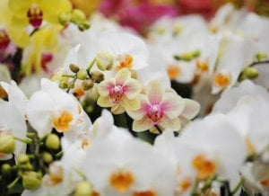 Ask the Grower: Can I Use Tea as Fertilizer for my Phalaenopsis Orchid?